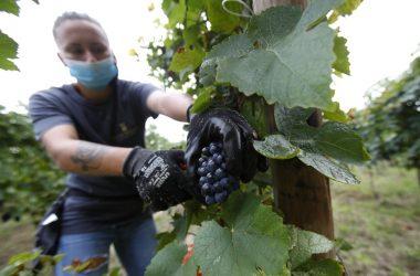 Harvest workers among COVID world's last regular travelers